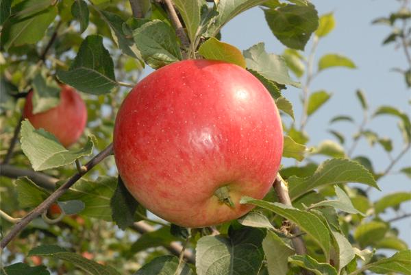 苹果小冠形树体结构图